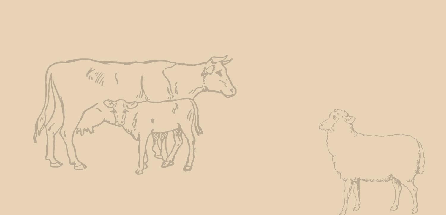 Local Scottish animals cow, calf and sheep